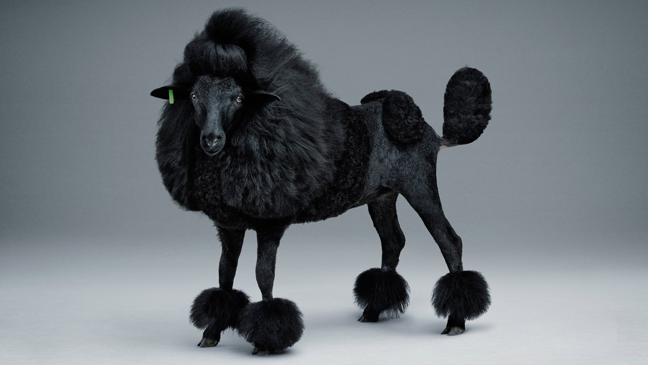 Blacker Sheep